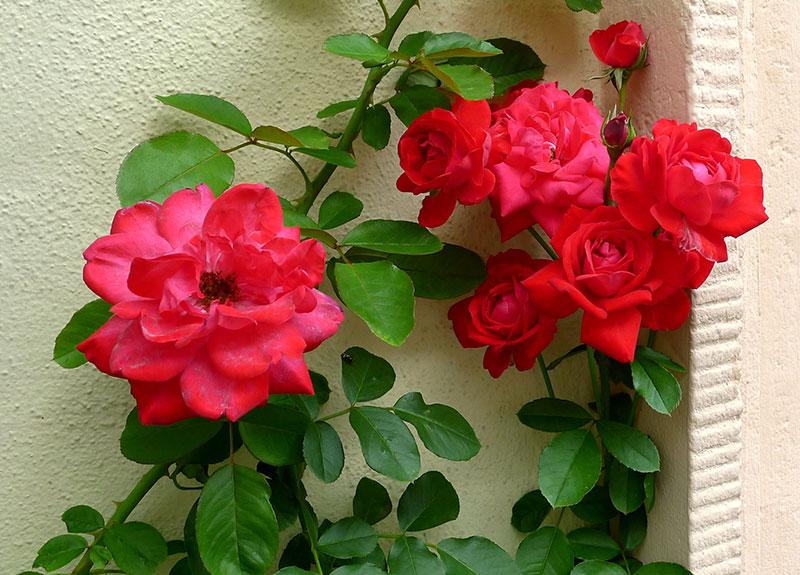 rosen rankhilfe aus metall cheap rankhilfe fr rosen aus an der decke with rosen rankhilfe with. Black Bedroom Furniture Sets. Home Design Ideas